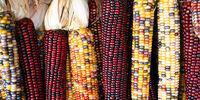 Growing Corn (Maize)