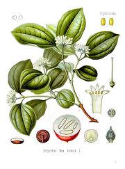 Strychnos nux-vomica - Köhler–s Medizinal-Pflanzen-266