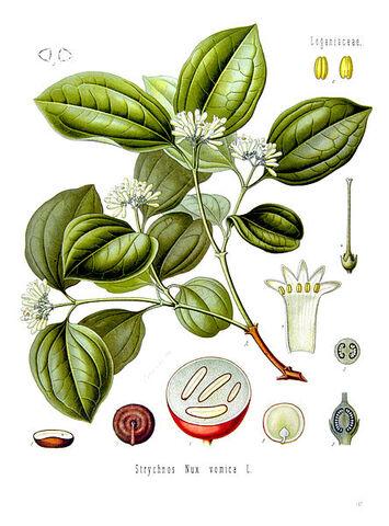 File:Strychnos nux-vomica - Köhler–s Medizinal-Pflanzen-266.jpg