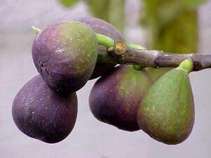 Ficus carica0