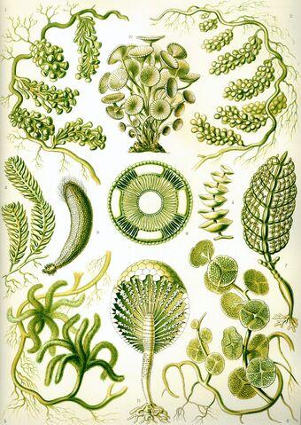 File:Haeckel Siphoneae.jpg
