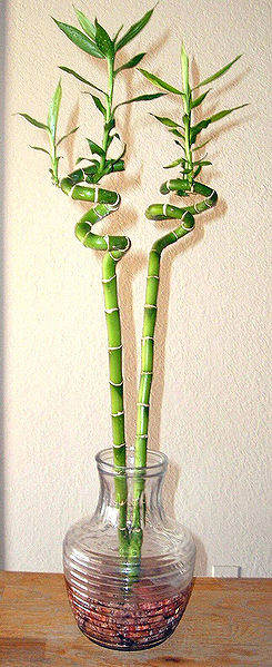 245px-Lucky bamboo spiral houseplant
