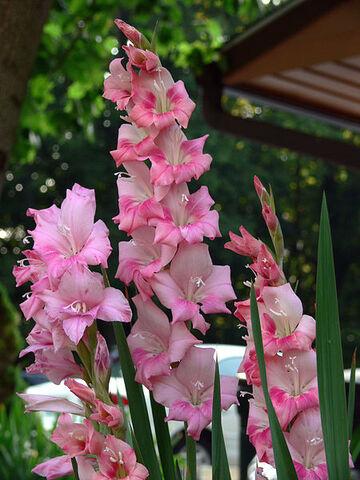 File:450px-Gladiolus 7-19-06.jpg