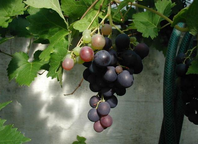 File:Vitis-vinifera-2.jpg