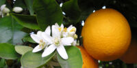 Growing Oranges