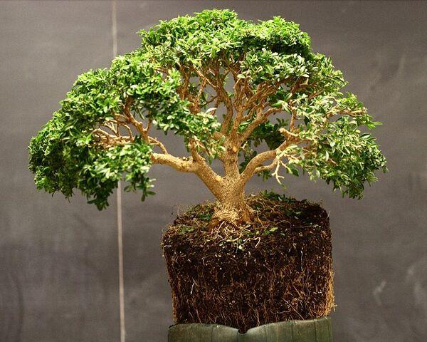 File:750px-Boxwood demonstration bonsai by Min Hsuan Lo.jpg