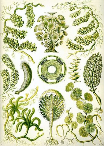 File:425px-Haeckel Siphoneae.jpg