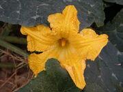 800px-Pumpkin flower