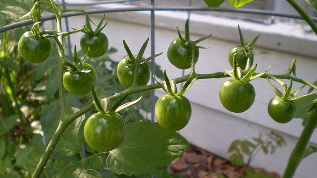 File:Green cherry tomatoes.JPG
