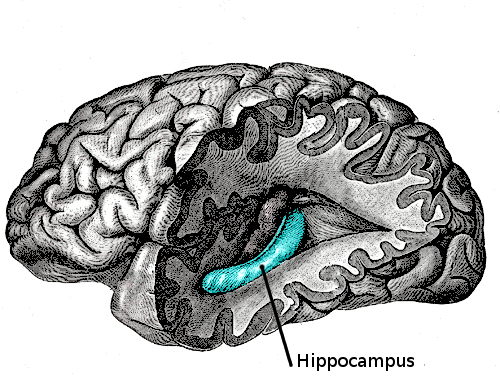 File:Gray739-emphasizing-hippocampus.png