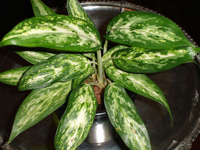 File:Aglaonema.jpg