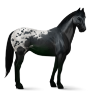 Appaloosa Rappschecke Altes Design