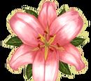 Hera-Lilie