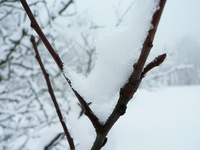 File:Snow branch.jpg