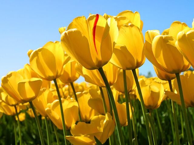 File:Tulips.jpg