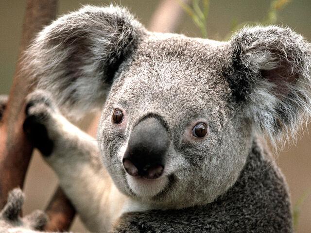 File:Koala bear.jpg