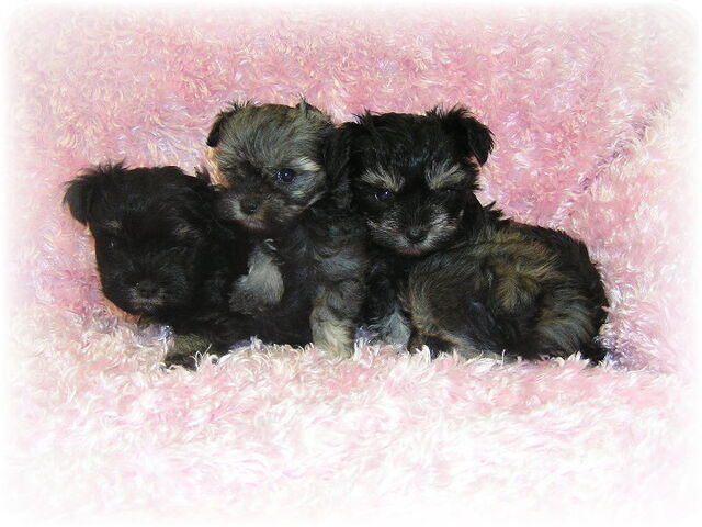 File:Teacup puppies 002.jpg