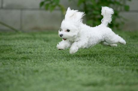 File:Maltese running puppy.21835131 std.jpg