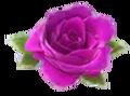 Larger pink rose