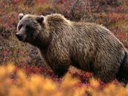 A grizzly