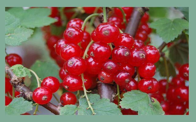 File:Green Berries.jpg