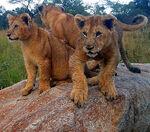 Zimbabwie Lion 1