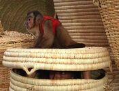CapuchinMonkey.jpg
