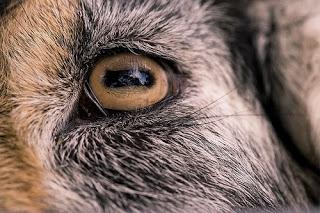 File:Goat Eye.jpg