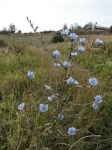 File:220px-Chicory01.jpg