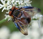 Phasia hemiptera (male)