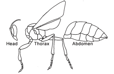 File:Insectbodyparts.jpg