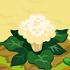 Cauliflower 70