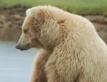 352px-Bear
