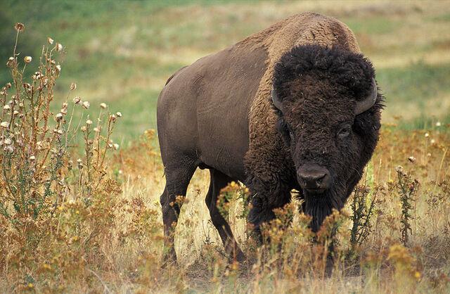 File:Bison.jpg