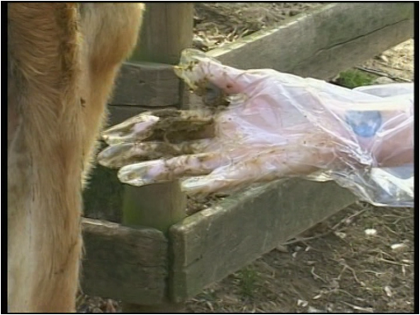 File:Cow Insemination.png