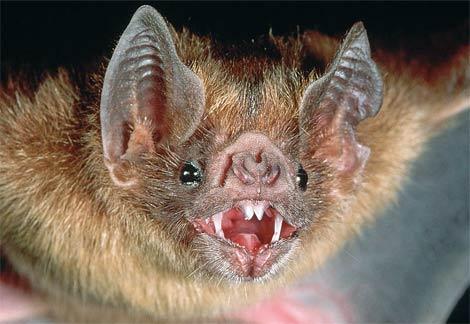 File:Vampire-bat.jpg