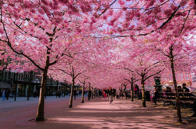 ファイル:Cherry-blossoms-sakura-spring-1-greatest-images-amazing-2013-great-atmosphere.jpg