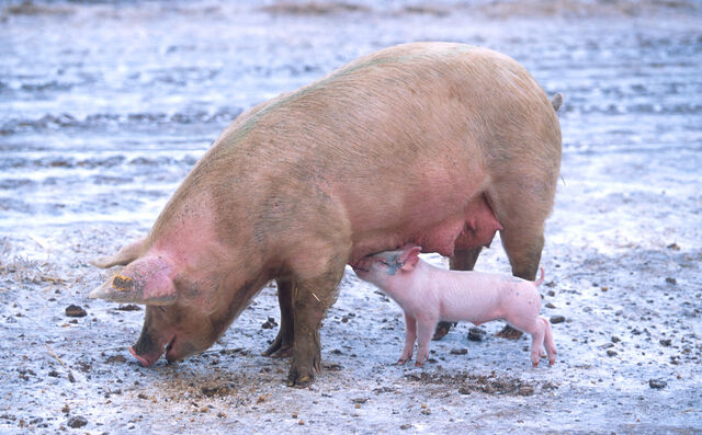 File:Sow with piglet.jpg