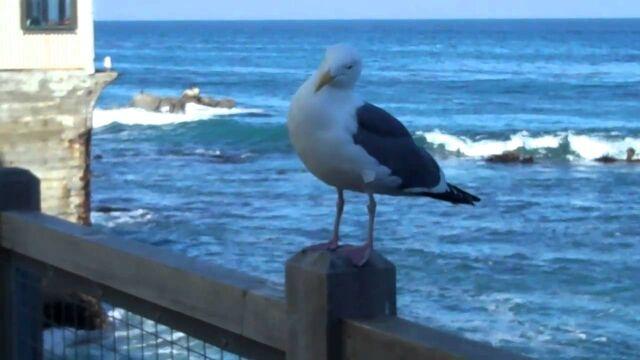 File:A Cannery Row Seagull.jpg
