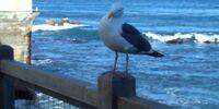 A Cannery Row Seagull