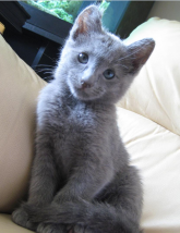 File:Russian blue kitten image.PNG