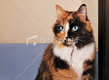 File:Istockphoto 10583377-tortoiseshell-cat-with-copy-space.jpg