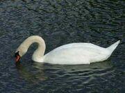 Sig swan