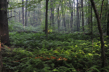 Forest-and-fern-fields