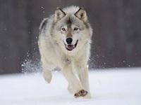 File:Gray Wolf Minnesota~ Small.jpg