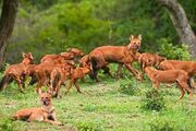Pack of Dholes