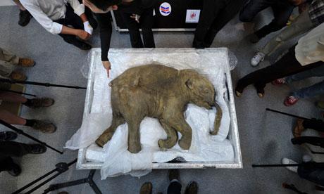 File:Baby-mammoth-carcass-008.jpg