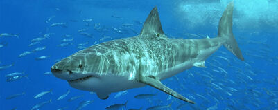 Great-white-shark-featured.jpg