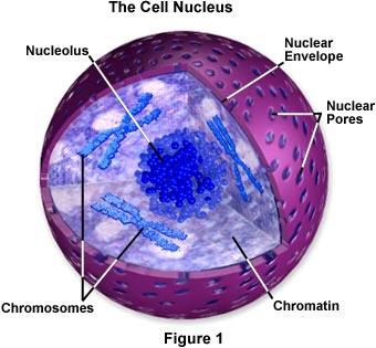 File:Cellnucleus.jpg