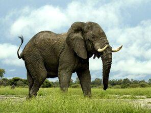 African-elephant 435 600x450